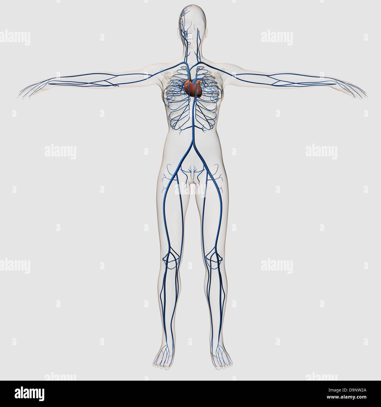 Medizinische Illustration der weibliche Herz-Kreislauf-System mit ...