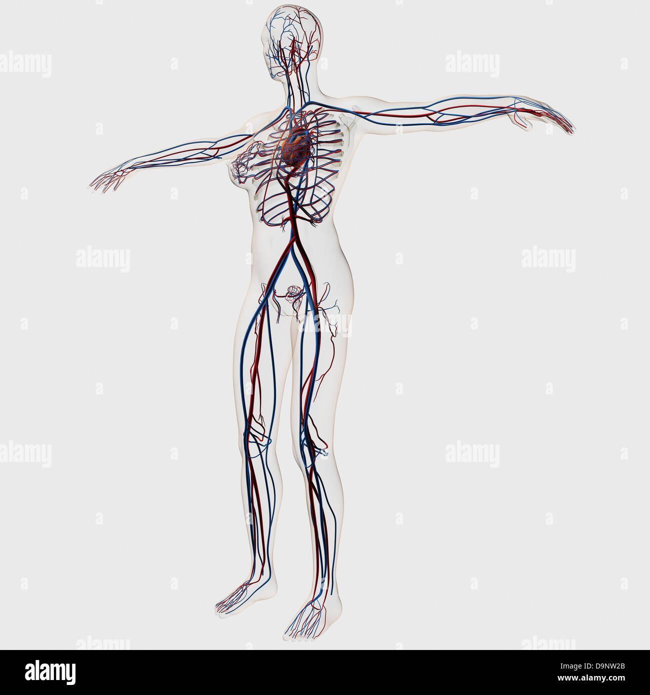 Fein Herz Kreislauf System Organe Und Funktionen Galerie ...
