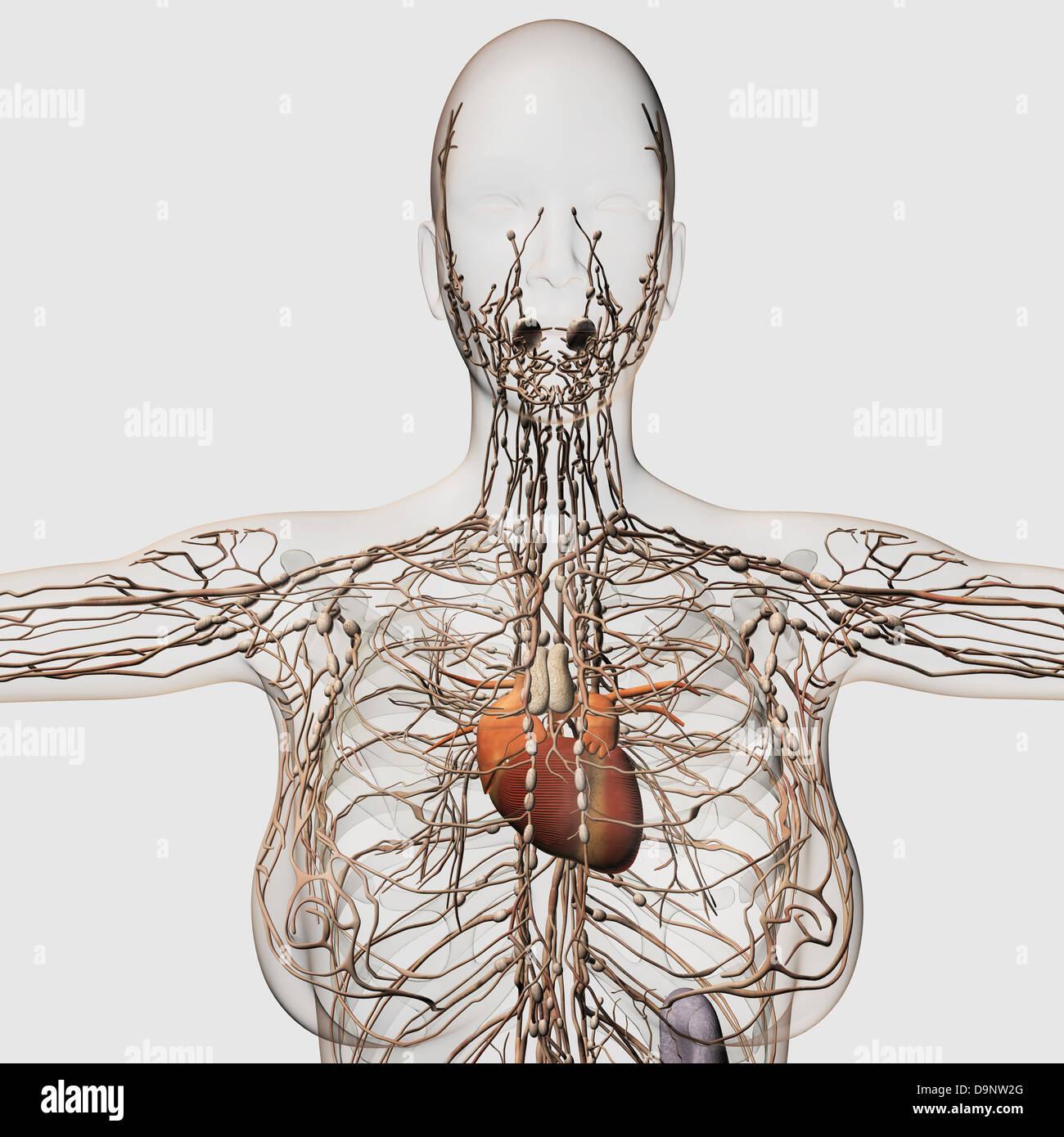 Female Lymphatic System Stockfotos & Female Lymphatic System Bilder ...