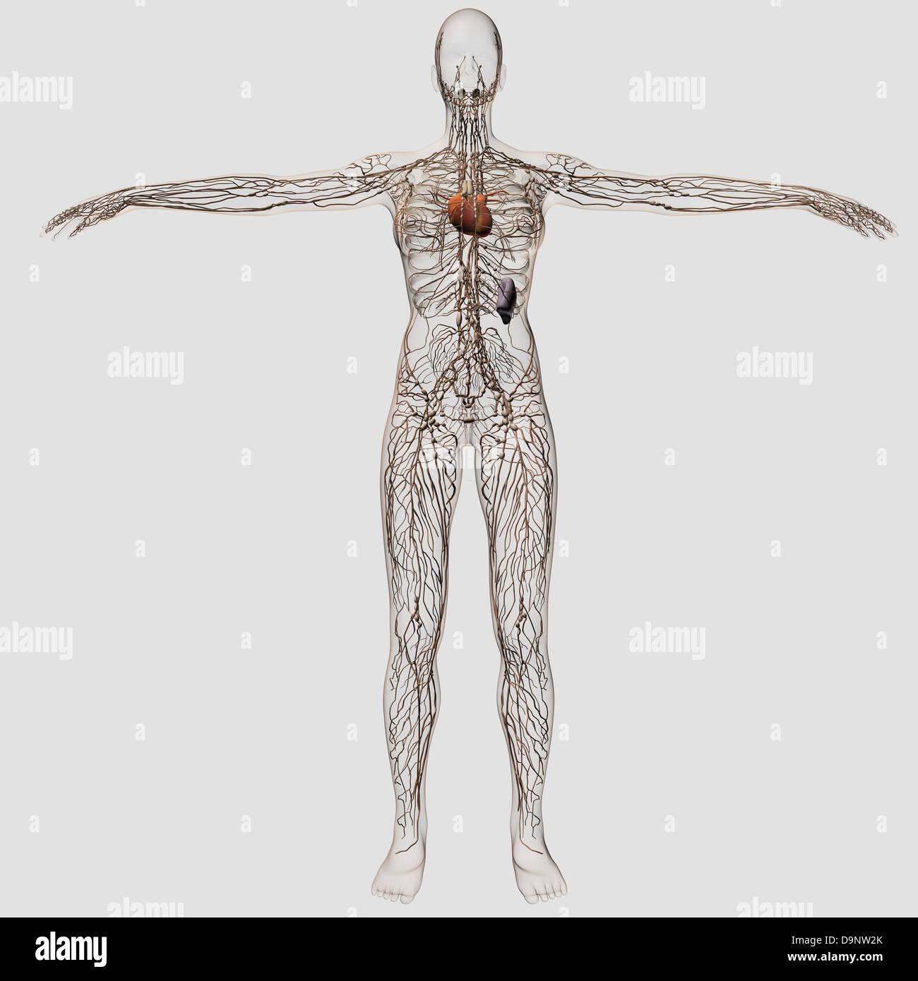 Ausgezeichnet Weibliche Körper Medizinische Diagramm Ideen ...
