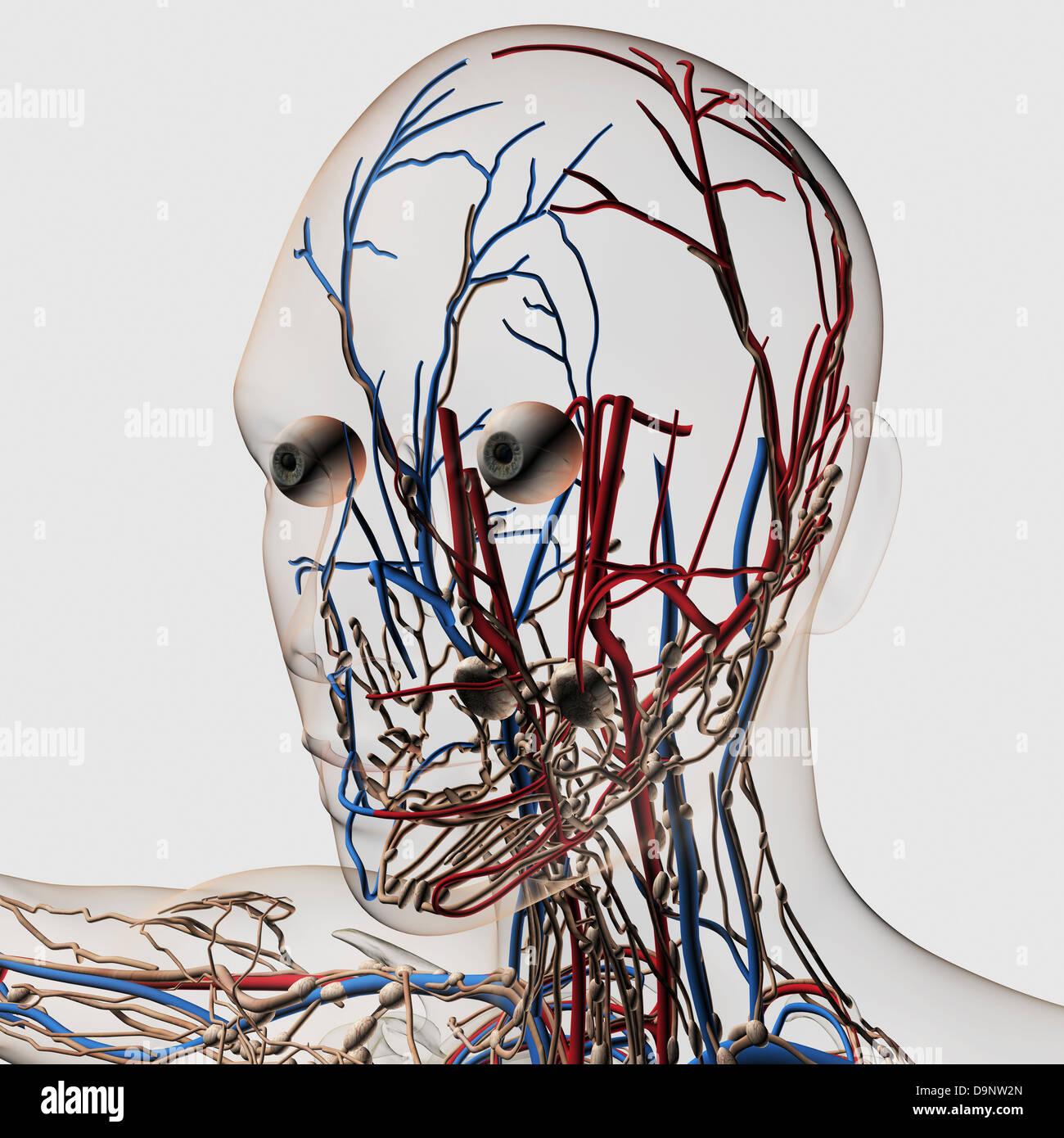 c8.alamy.com/compde/d9nw2n/medizinische-illustrati...