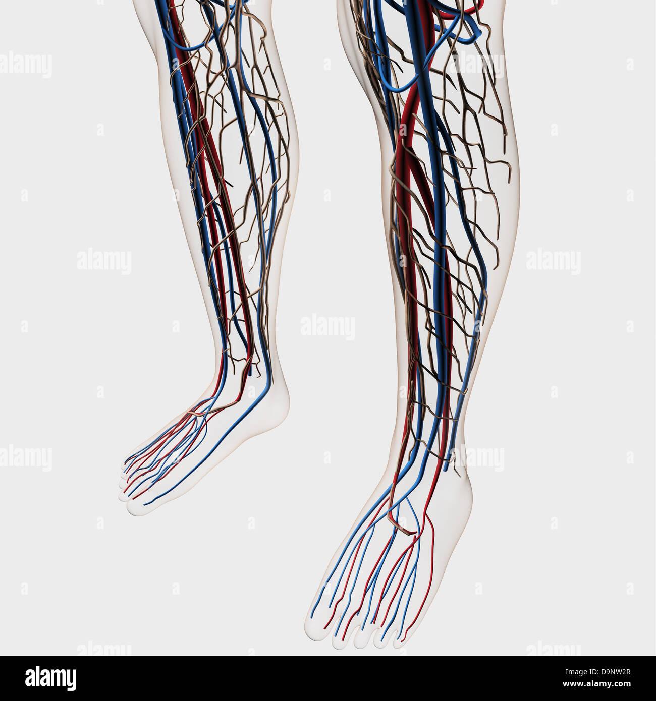 Artery Legs Stockfotos & Artery Legs Bilder - Alamy