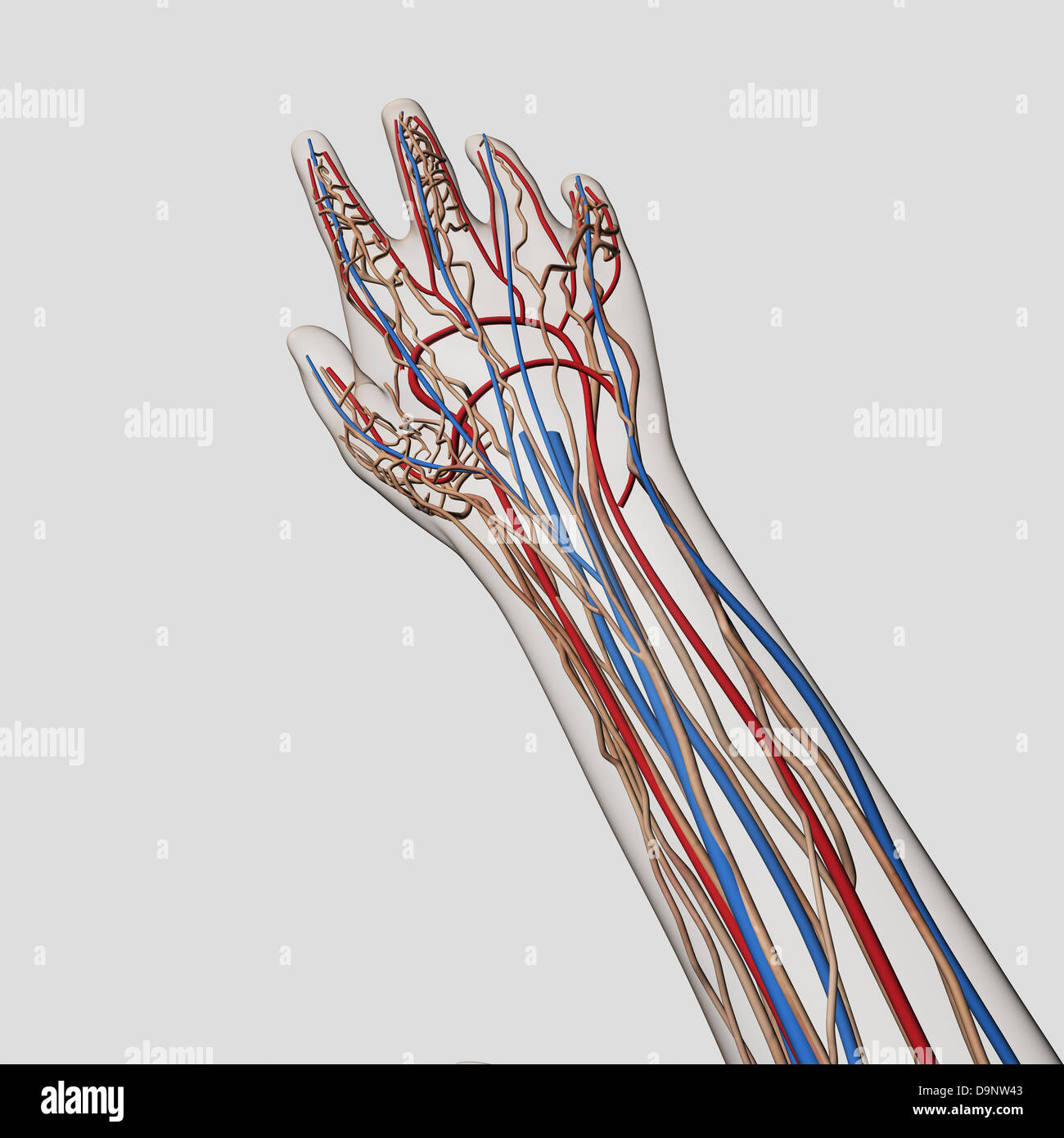 Arteries Veins Stockfotos & Arteries Veins Bilder - Alamy