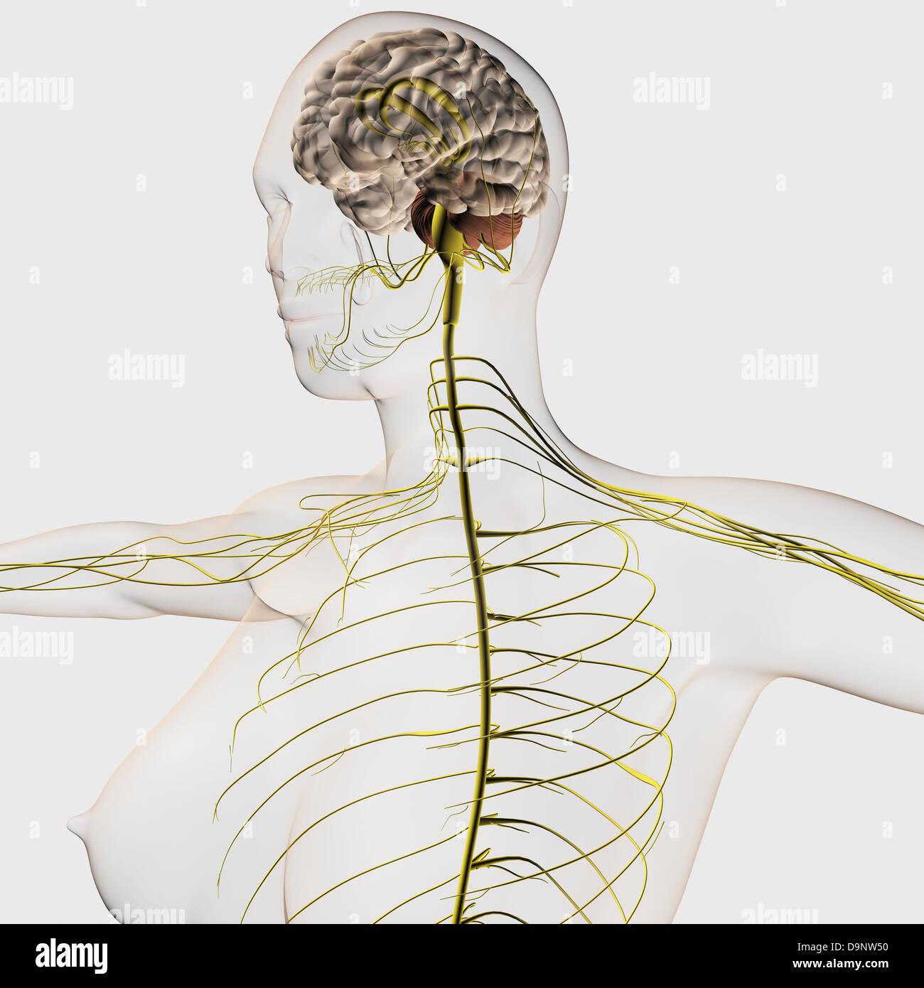Nerve System Stockfotos & Nerve System Bilder - Alamy