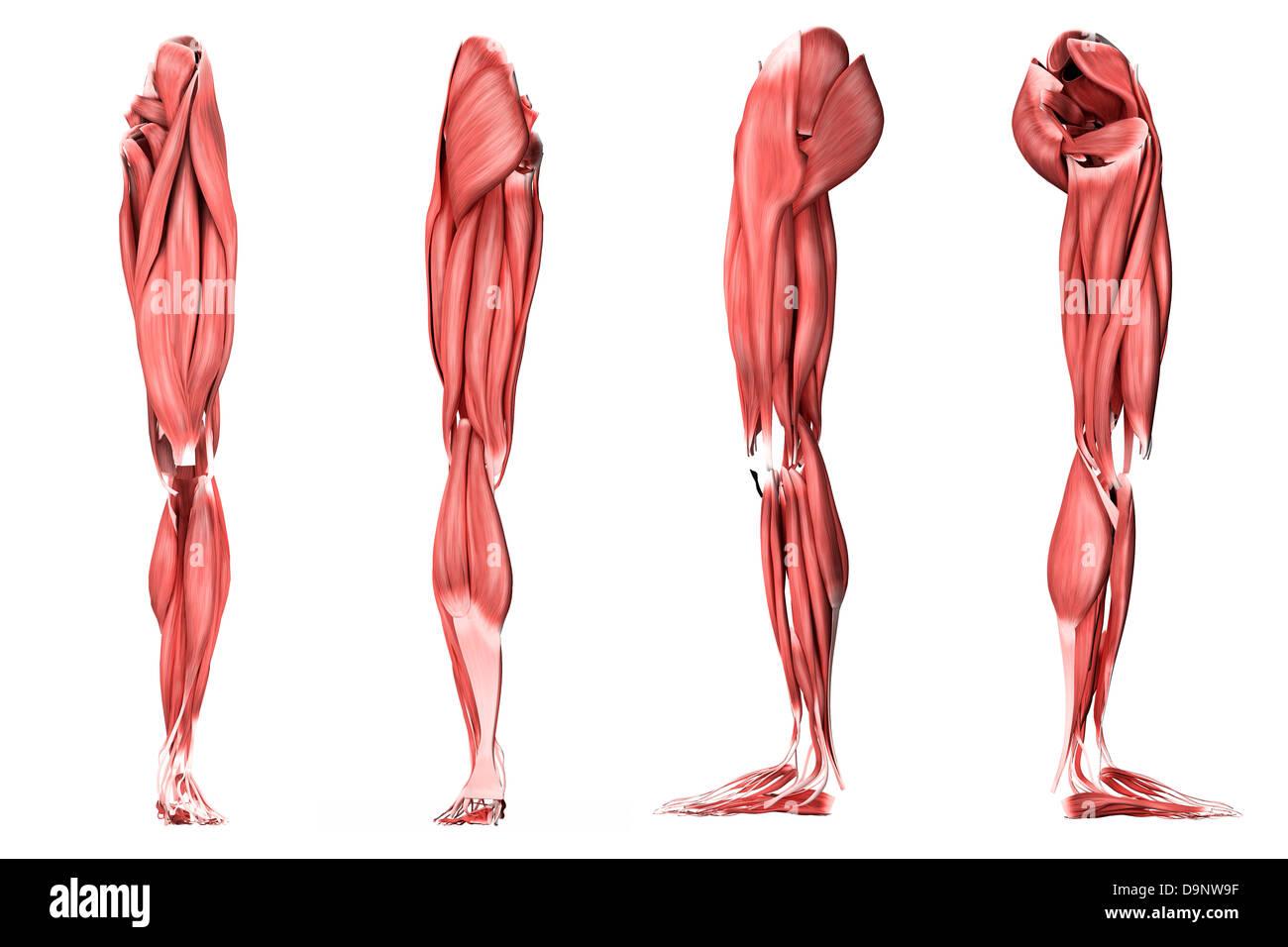 Medizinische Illustration der menschlichen Beinmuskulatur, vier ...