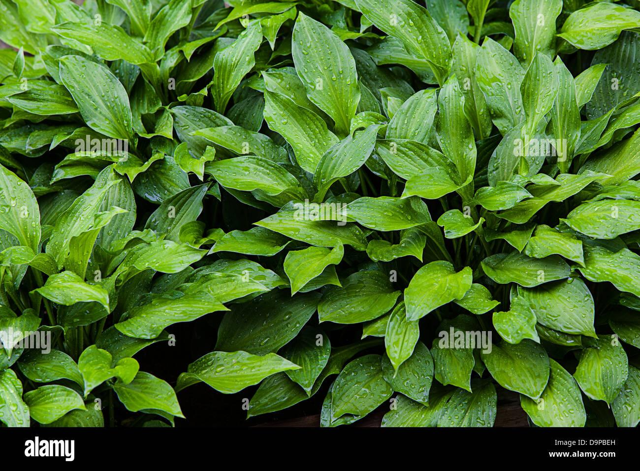 Hostas, Giboshi, Asparagaceae, Stockbild