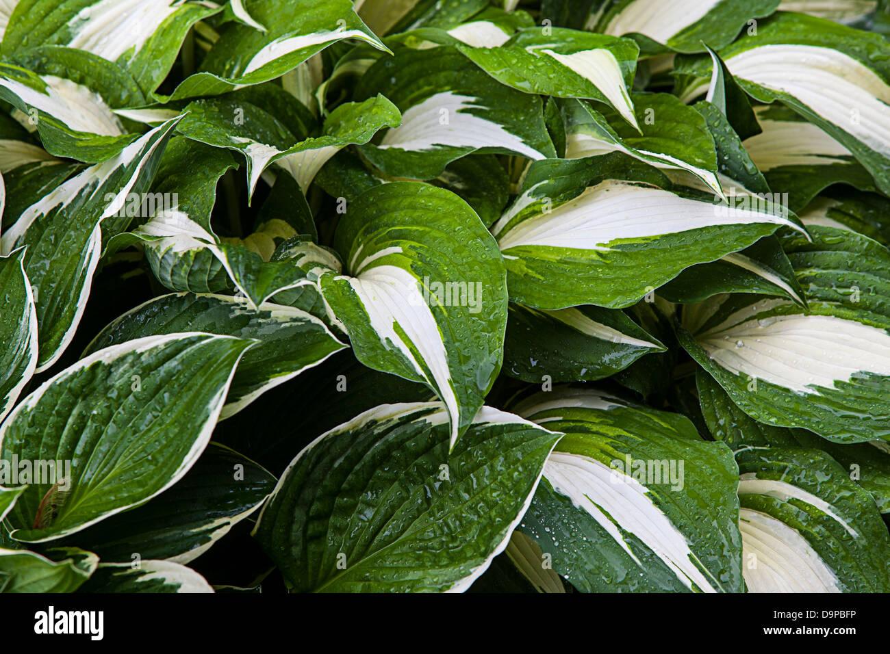 Hostas, Giboshi, Asparagaceae, Francee Hosta fortunei Stockbild