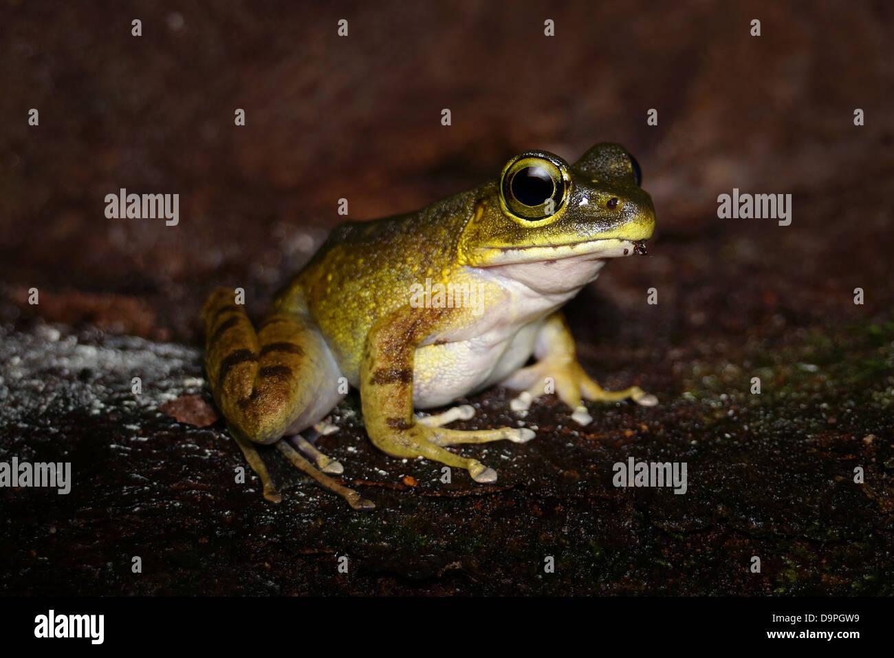 Meristogenys Kinabaluensis Montane Torrent Frosch im Kinabalu Park. Nur in den Bergen von Kalimantan, Borneo, Sabah Stockbild