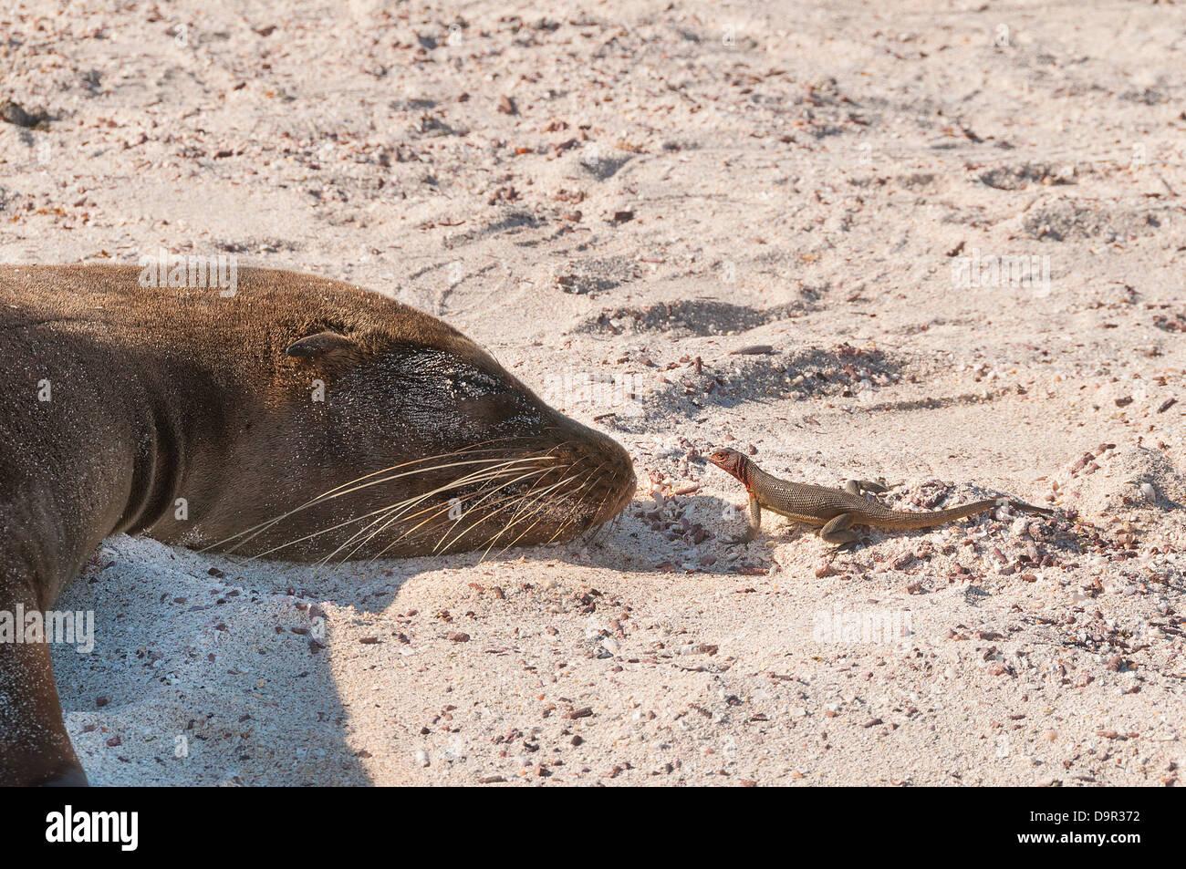 Galapagos Seelöwe Nase An Nase Mit Einem Lava Eidechse Die Eidechse