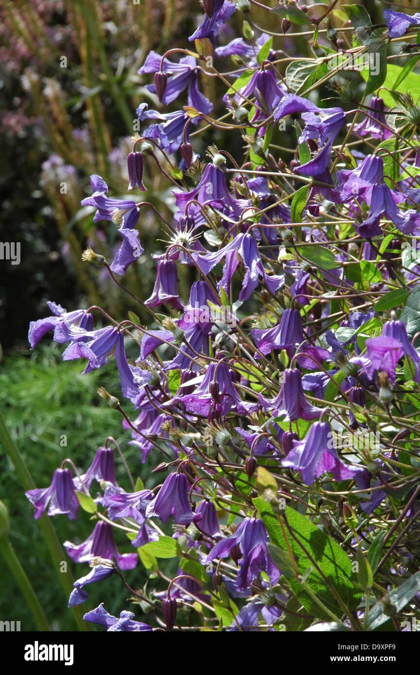 Clematis Diversifolia - krautige mehrjährige Grenze Pflanze Stockbild
