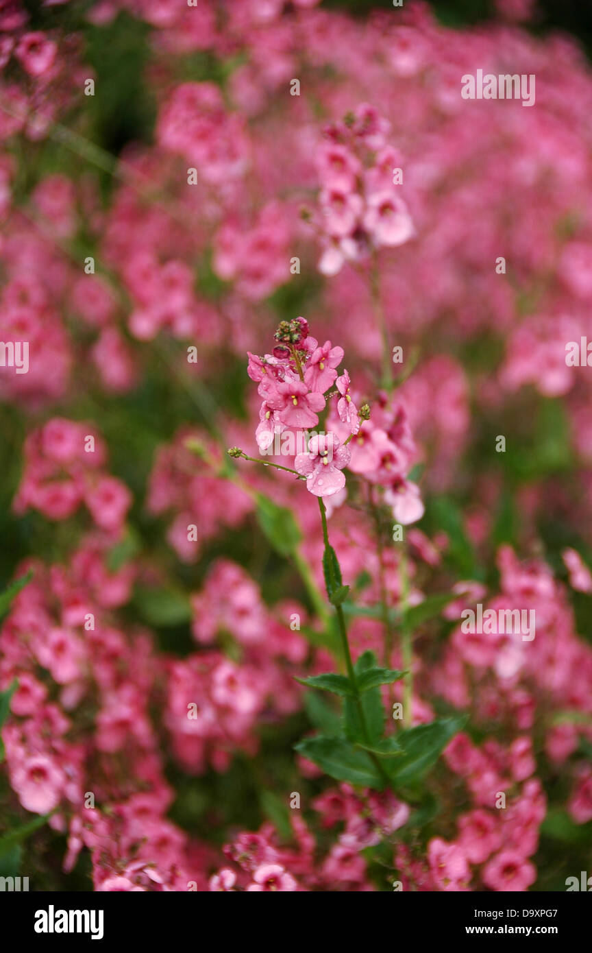 diascia personata lachs rosa staude stockfoto bild 57751463 alamy. Black Bedroom Furniture Sets. Home Design Ideas