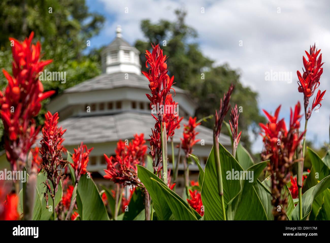 Rot Canna (Canna X generalis) oder Cannas Lilien blühen mit einer Gartenlaube im Hintergrund sichtbar. Stockbild
