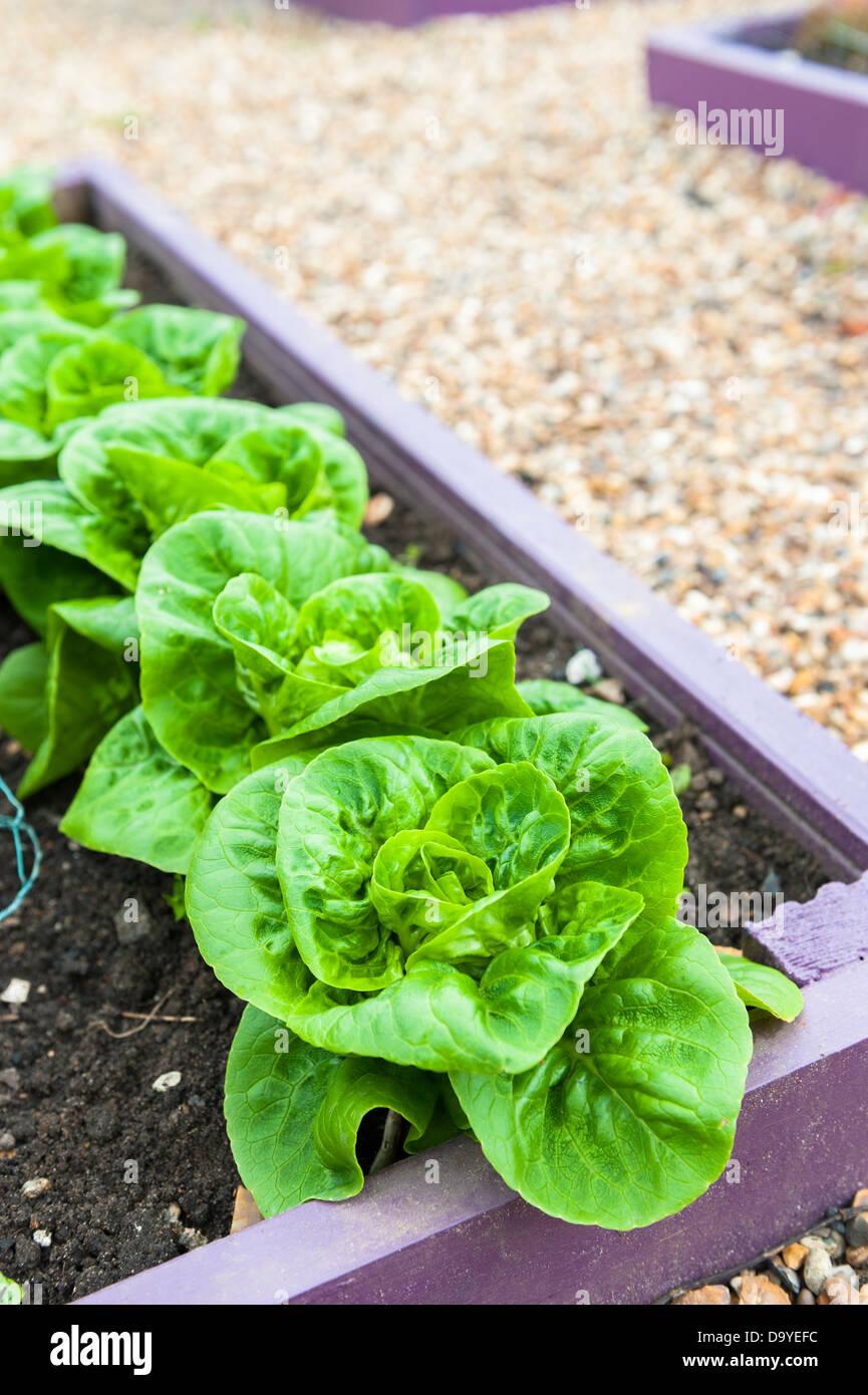 Salat Pflanzen Little Gem Bunt Bemalte Hochbeet Norfolk