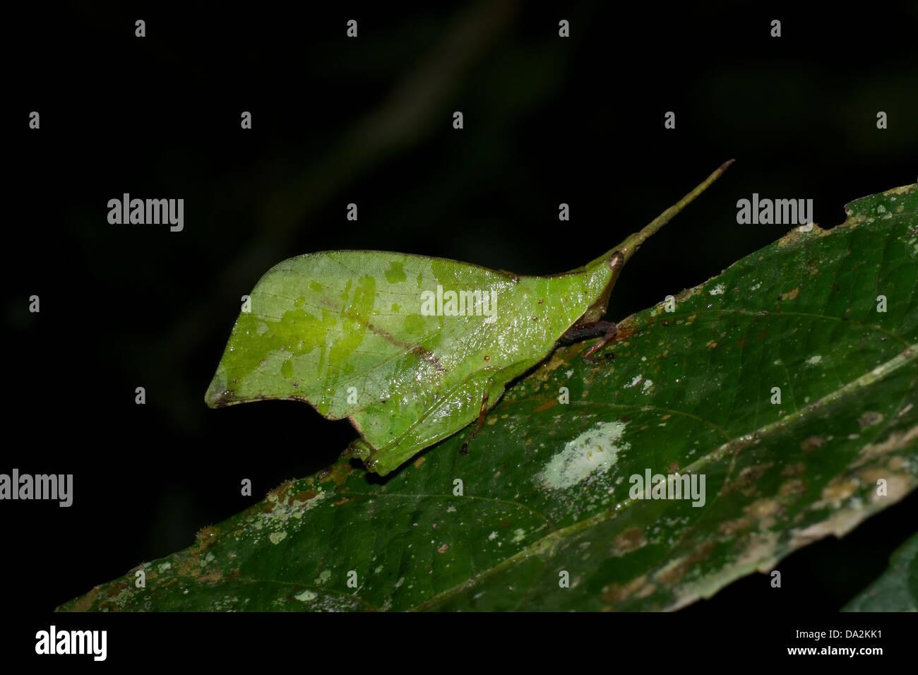 Systella Dusmeti. Mimischen Grashuepfer Blatt der Gattung ist Systella, eine kurze ? gehörnte Heuschrecke (Caelifera) Stockbild
