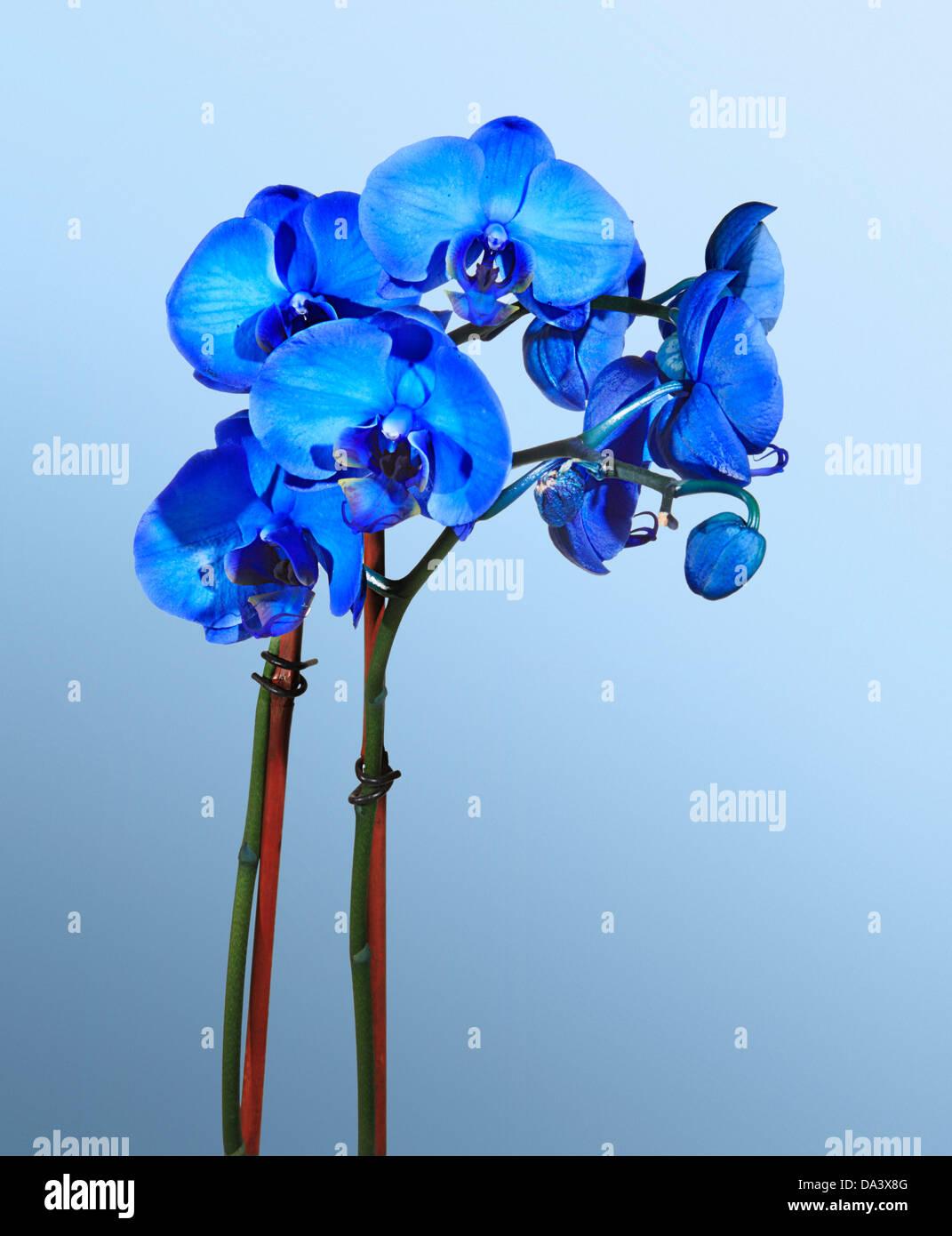 Blumenstilleben, blaue Orchideen gegen einen hellblauen Hintergrund Stockbild