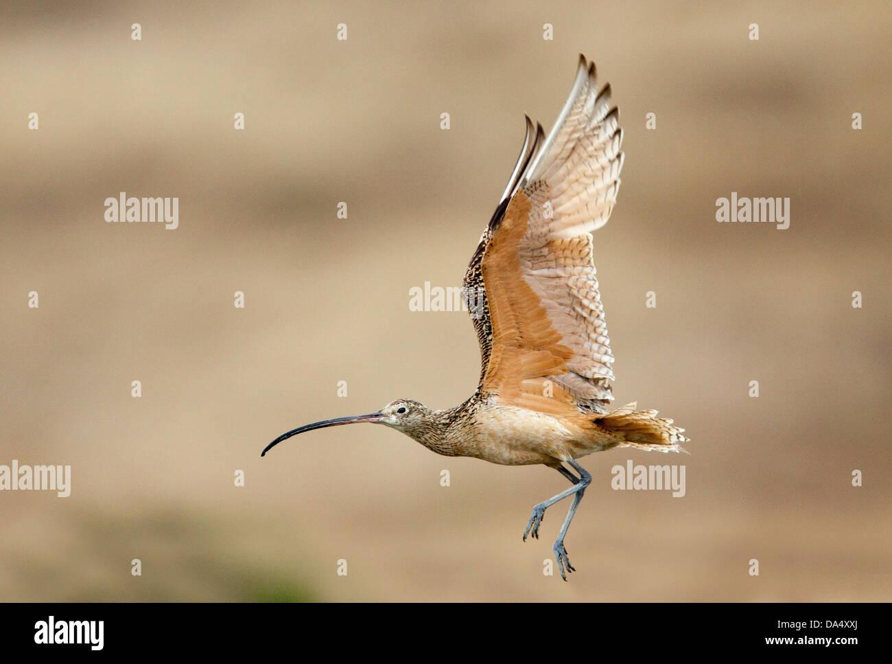 Lange-billed Brachvogel Numenius Americanus Moss Landing, Kalifornien, Vereinigte Staaten 24 Juni Erwachsenen während Stockbild