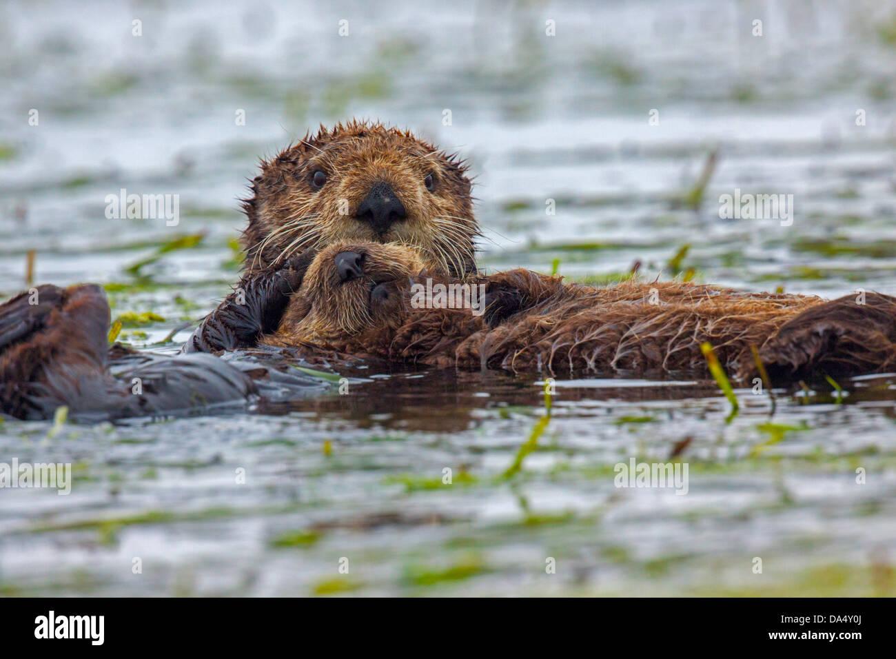 Sea Otter Enhydra Lutris Moss Landing, Kalifornien, Vereinigte Staaten 24 June AdultFemalw mit jungen. Mustelidae Stockbild