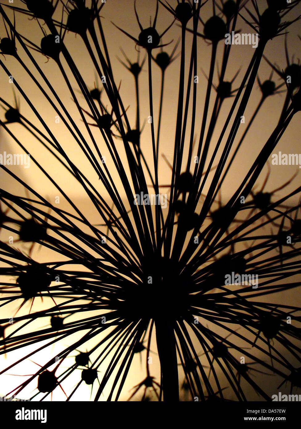 Blume, verwelkt, Allium, Konzept, Konzepte, Stern, Stern Licht Stockbild