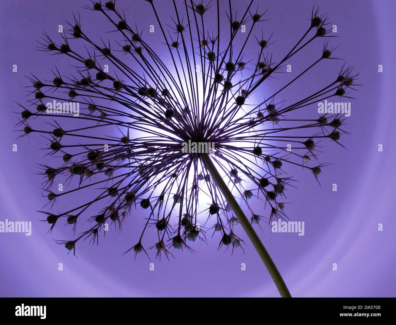 Blume, verwelkt, Allium, Konzept, Stern, Konzepte, Sterne, Licht, blau Stockbild