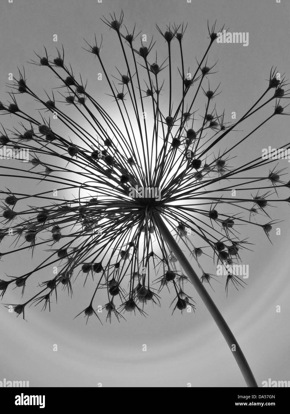 Blume, verwelkt, Allium, Konzept, Stern, Konzepte, Sterne, Licht, grau Stockbild