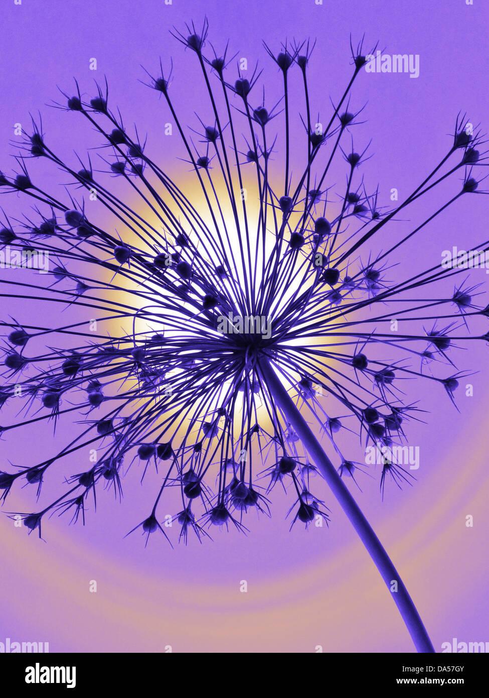 Blume, verwelkt, Allium, Konzept, Stern, Konzepte, Stern, hellblau, entfremdet Stockbild