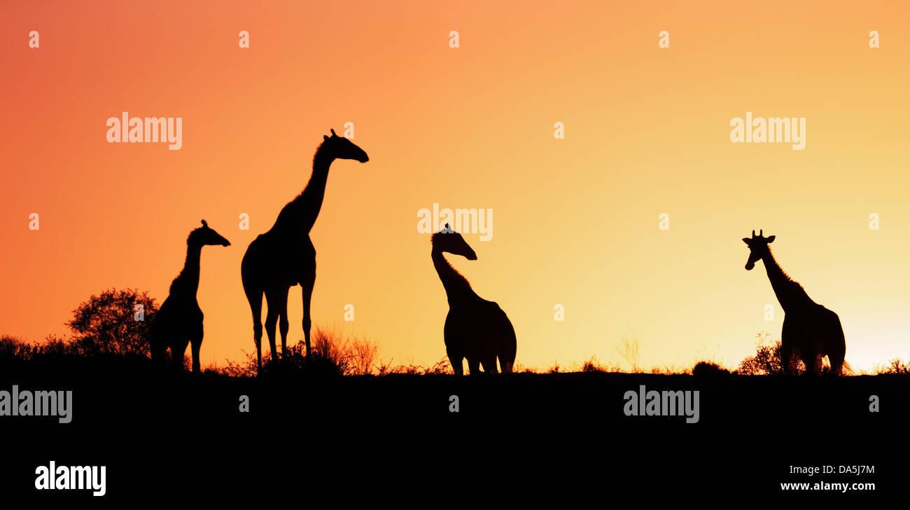 Giraffen silhouettiert gegen Sonnenaufgang - Kalahari-Wüste - Südafrika Stockbild