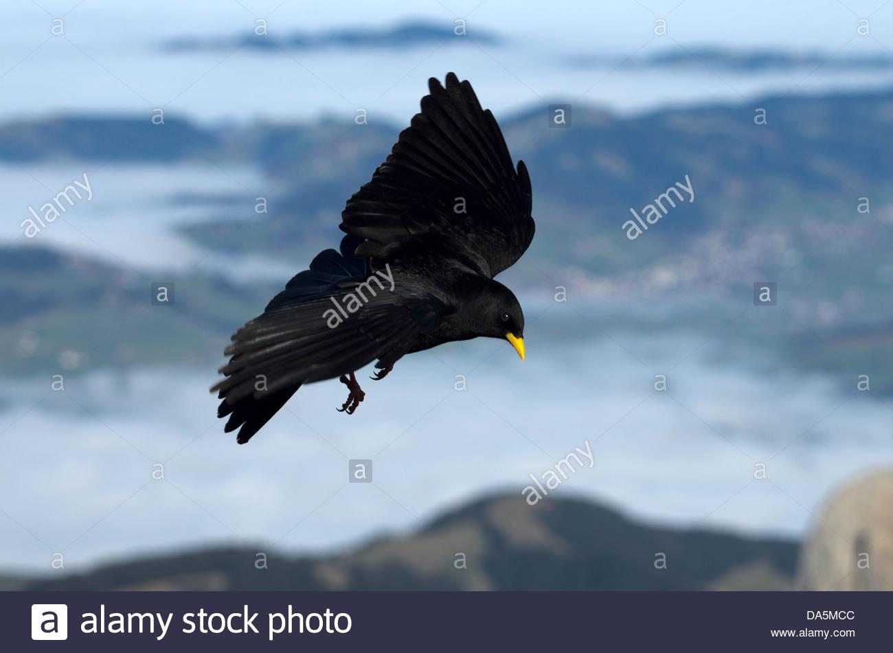 Appenzell, Schweiz, Europa, Alpen, Säntis, Vogel, Spatz Vogel Singvogel, Raven Vogel, alpine Alpenkrähe, Stockbild