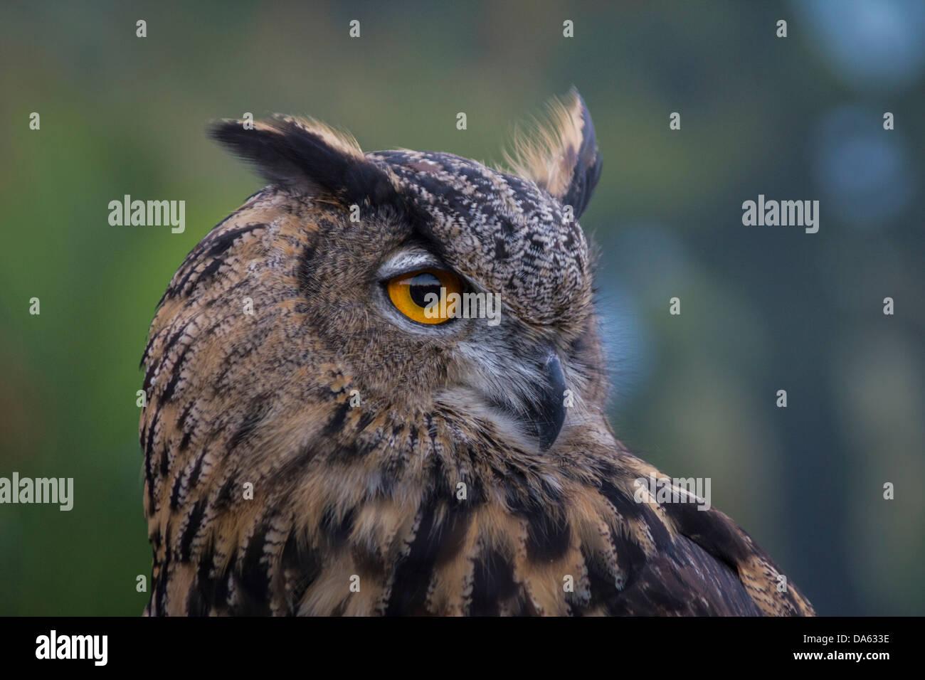 Vögel der Beute, Vogel, Blackland Prairie Raptor Center, Bubo Virginianus, große gehörnte Eule, Eule, Stockbild