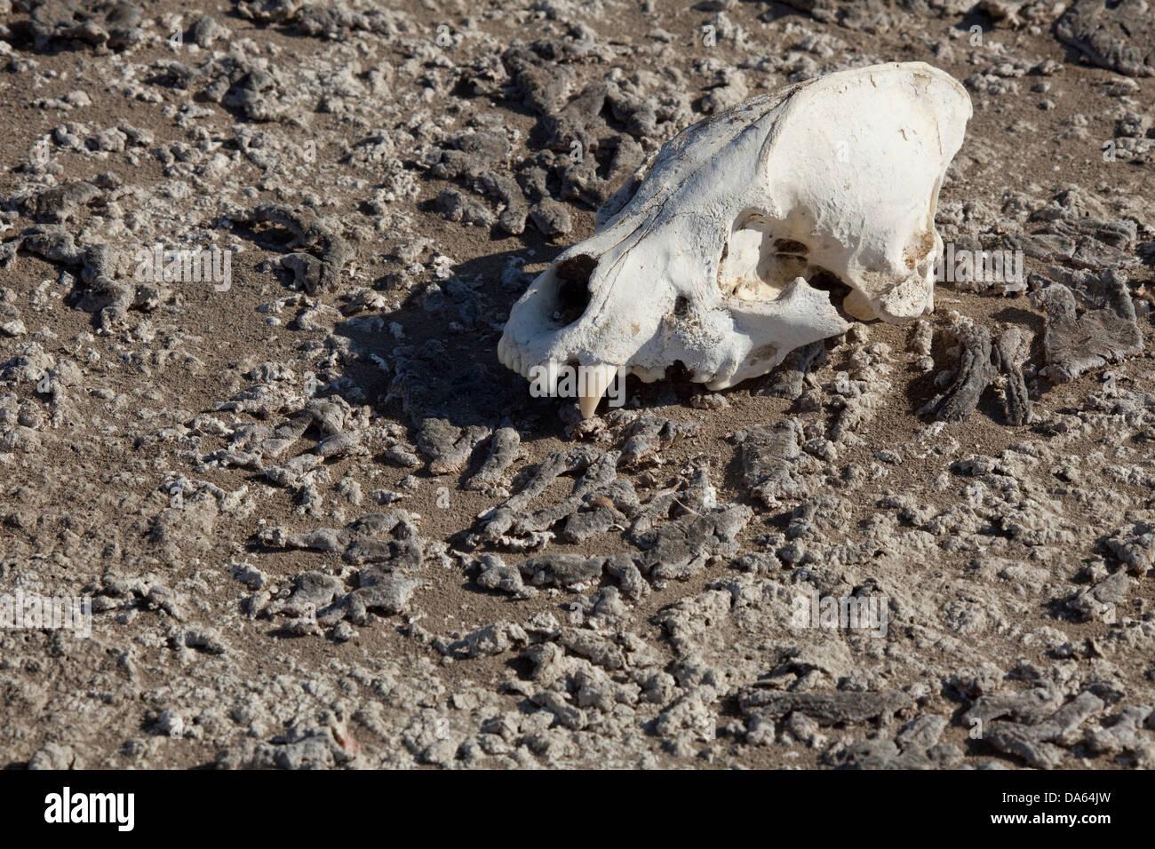 Hyäne, Schädel, Knochen, Wüste Danakil, Afrika, Dschibuti, Stockbild