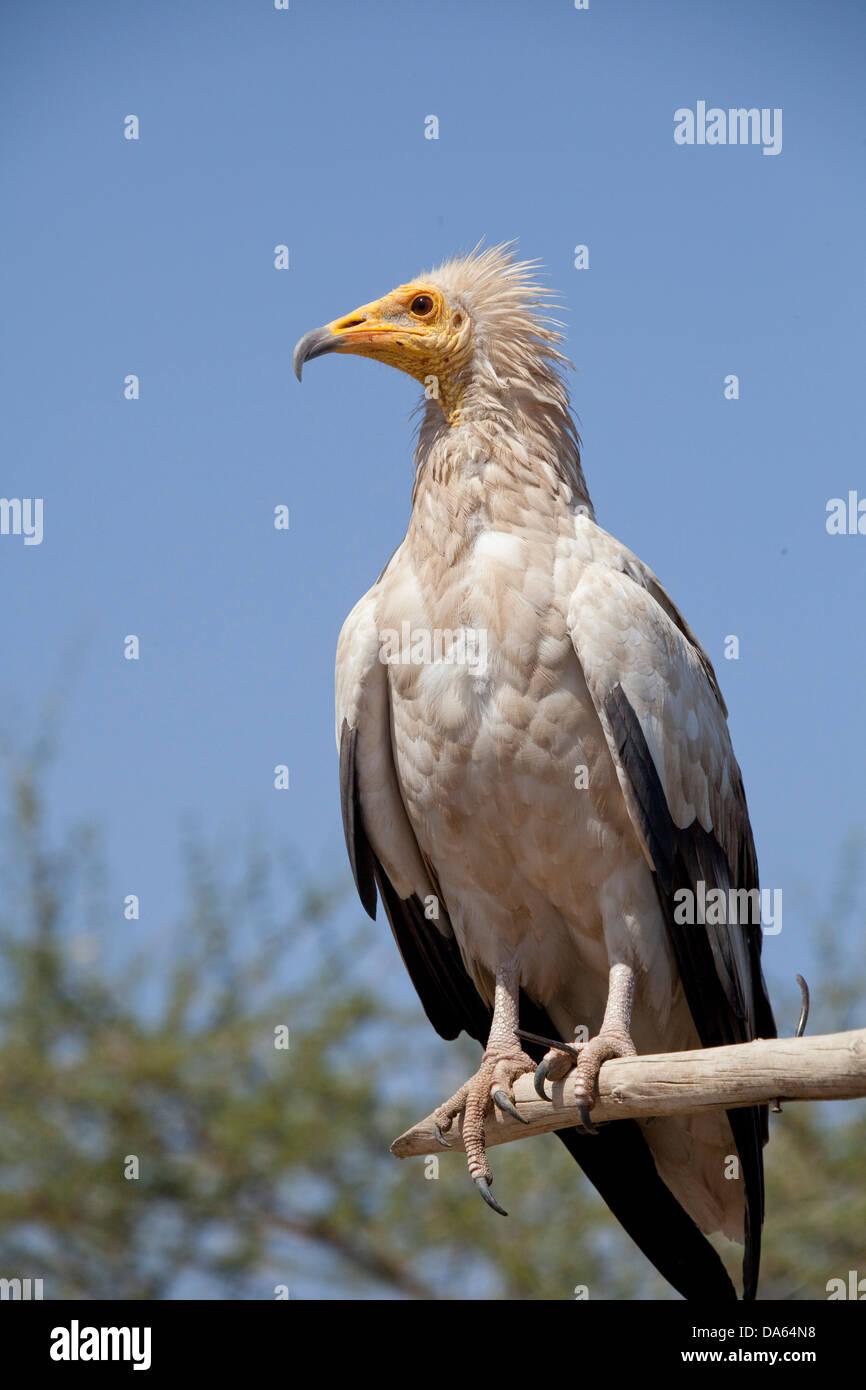 Schmutzige Geier, Afrika, Tiere, Tier, Vogel, Vögel, Geier, Äthiopien, Stockbild