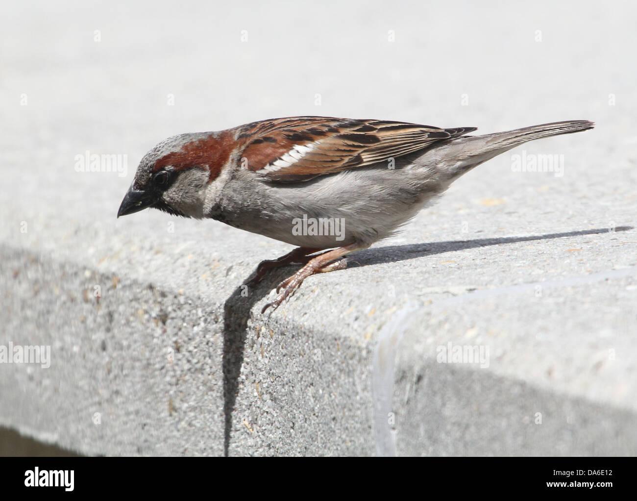 Nahaufnahme von einem männlichen Haussperling (Passer Domesticus) Besuch von meinem Balkon (über 40 Bilder in Serie) Stockfoto