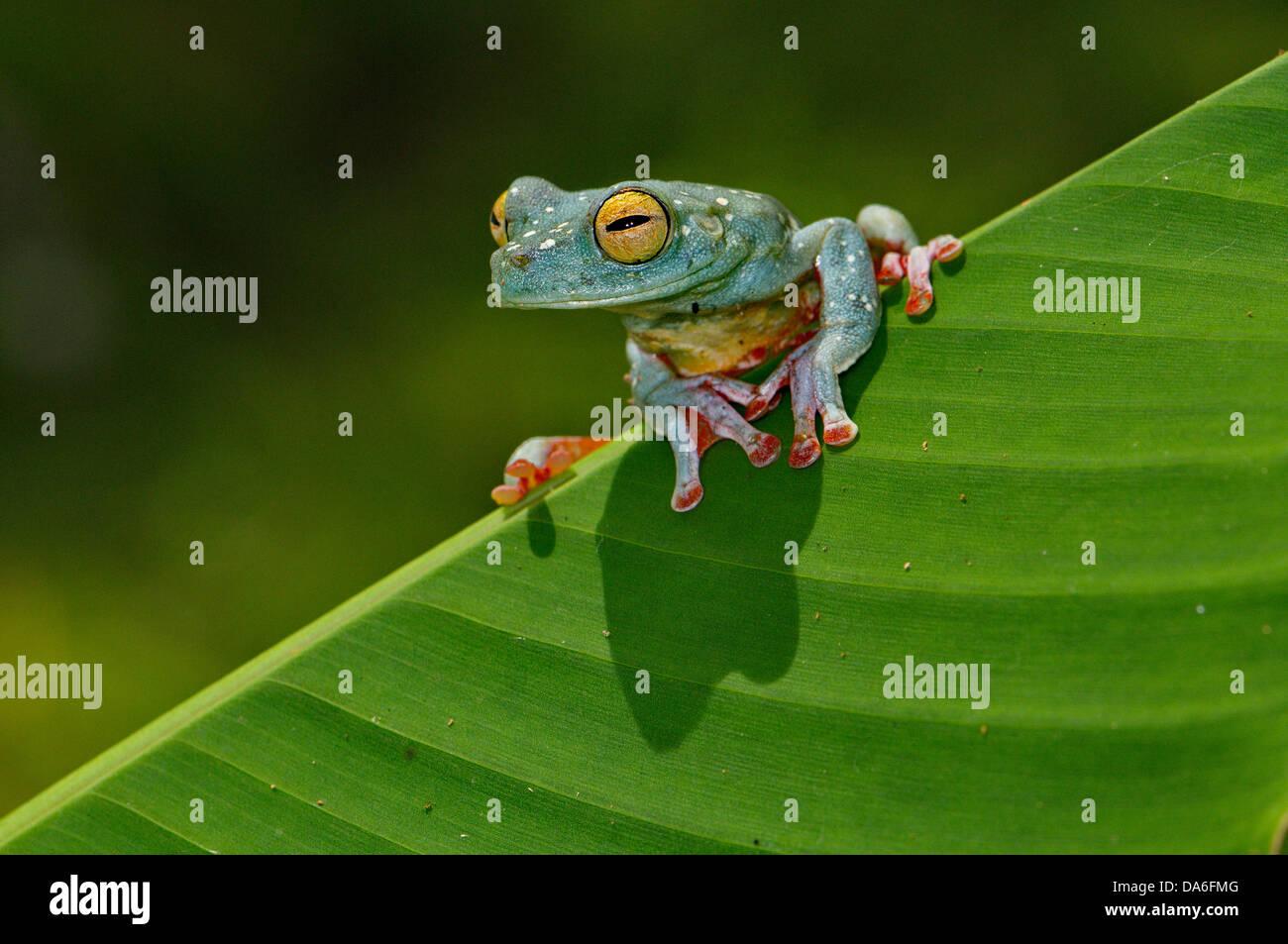 Frosch, Frösche, Laubfrosch, Scarlet-Schwimmhäuten Treefrog, Hypsiboas Rufitelus, Amphibium, Amphibien, Stockbild