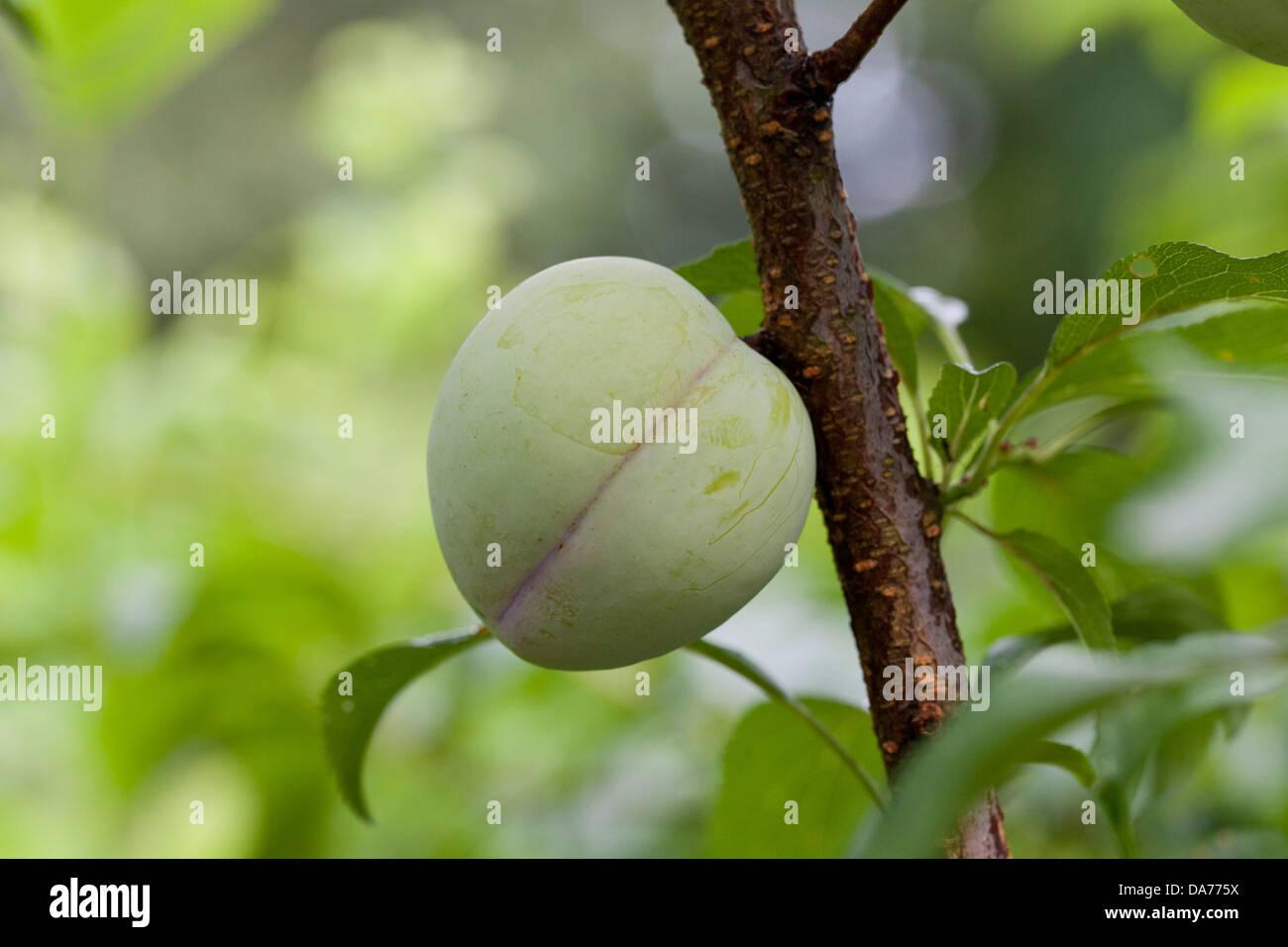 Japanische Pflaume auf Ast (Prunus Salicina) Stockbild