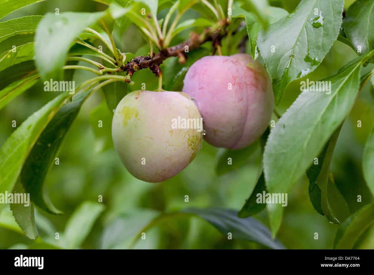 Japanische Pflaumen auf Ast (Prunus Salicina) Stockbild