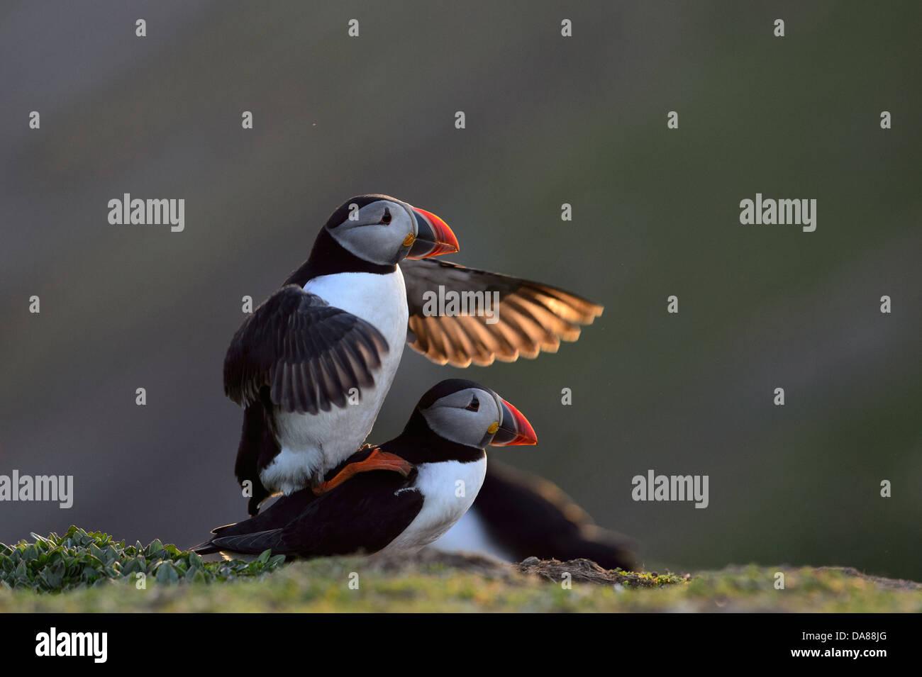 Anzeige und Paarung zweier Papageientaucher in warmen Abend Hintergrundbeleuchtung mit Sonnenlicht durch die Flügel Stockbild