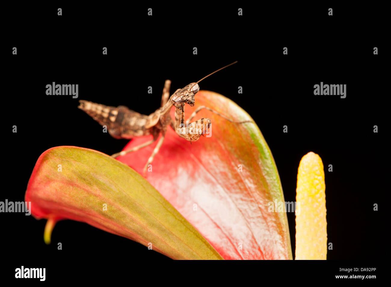 Budwing Mantis Mantodea Stockbild