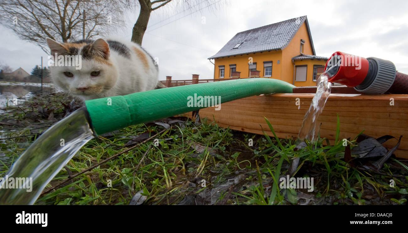 Eine Katze wird Wasser, das aus einem Keller eines überfluteten Haus in der Region Oderbruch Manschnow, Deutschland, Stockbild