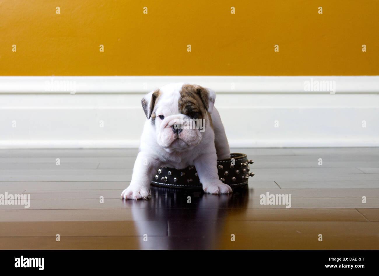 Fußboden In Englisch ~ Englische bulldogge welpen stehen über seine väter versetzt auf