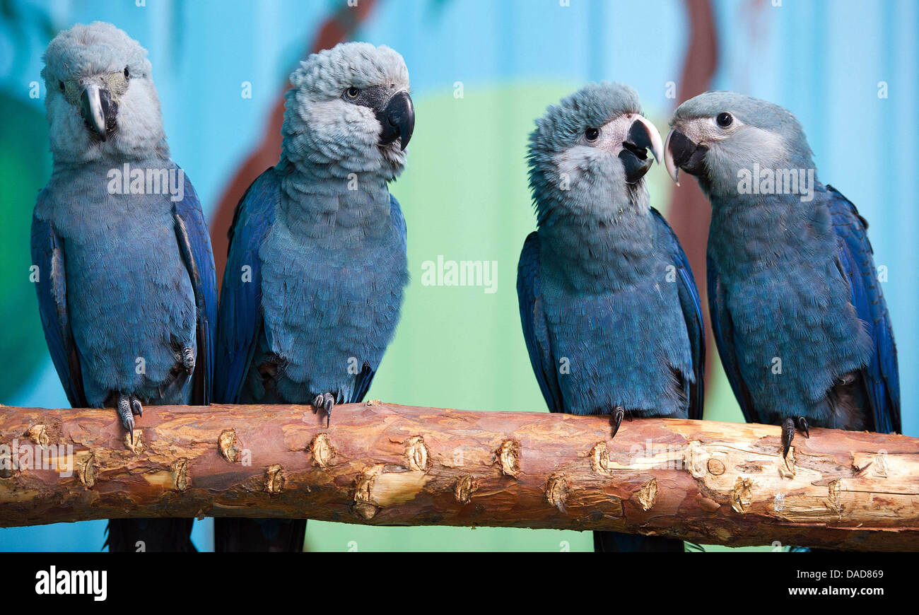 blauer ara ausgestorben