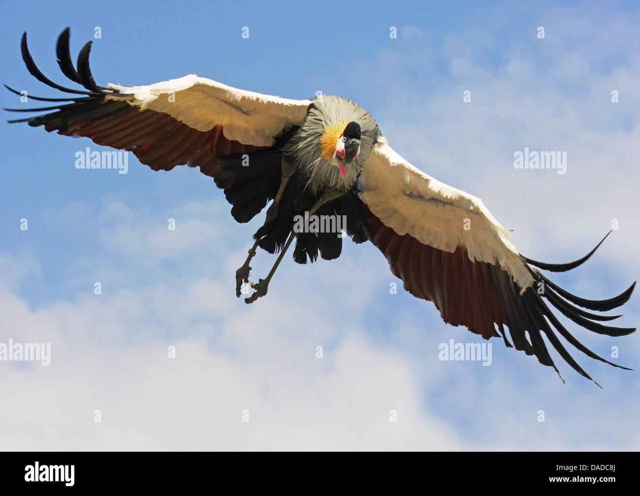 South African gekrönter Kran gekrönt grau Kran (Balearica Regulorum) fliegen Stockbild
