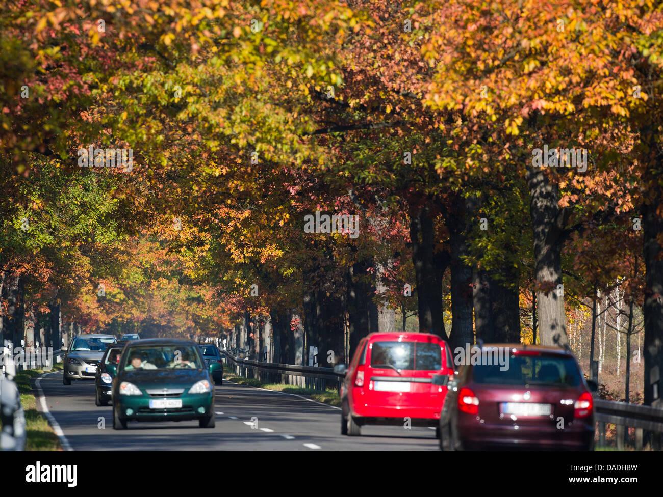 Autos fahren durch eine Allee Roteiche in Peitz, Deutschland, 22. Oktober 2011. Roteichen stammen ursprünglich Stockbild