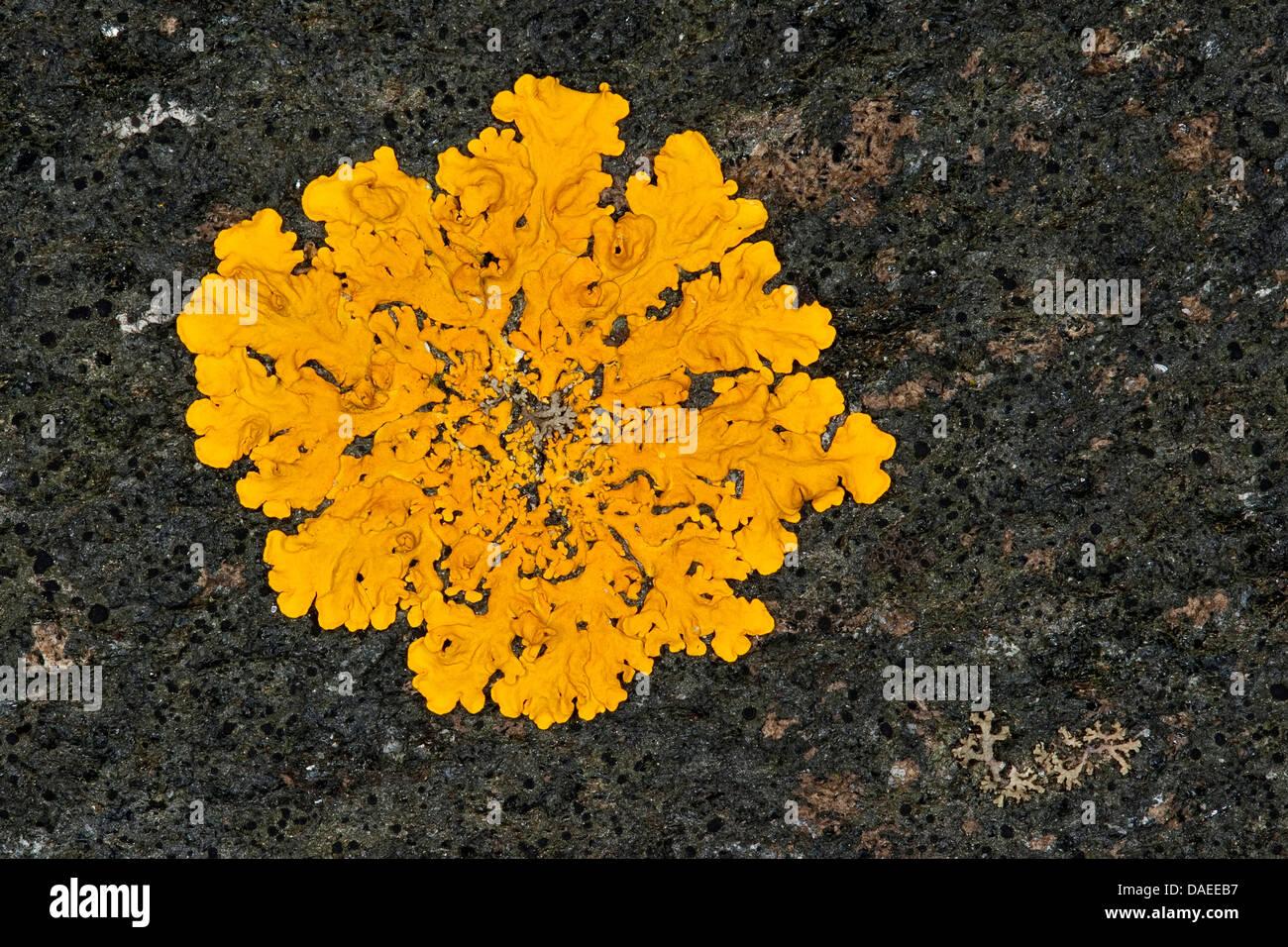 Gelbflechte (Xanthoria vgl. Aureola, Parmelia vgl. Aureola, Physcia vgl. Aureola, Physcia vgl. Ectaneoides, Xanthoria Stockbild