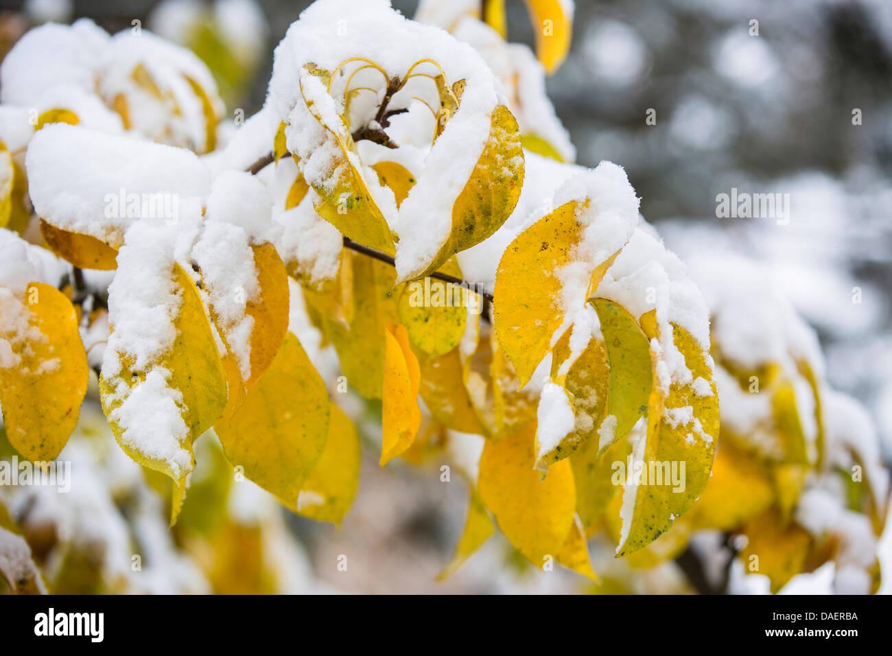 gemeinsamen Birne (Pyrus Communis), Schnee bedeckten Zweig mit Herbst Blätter, Deutschland, Bayern Stockbild