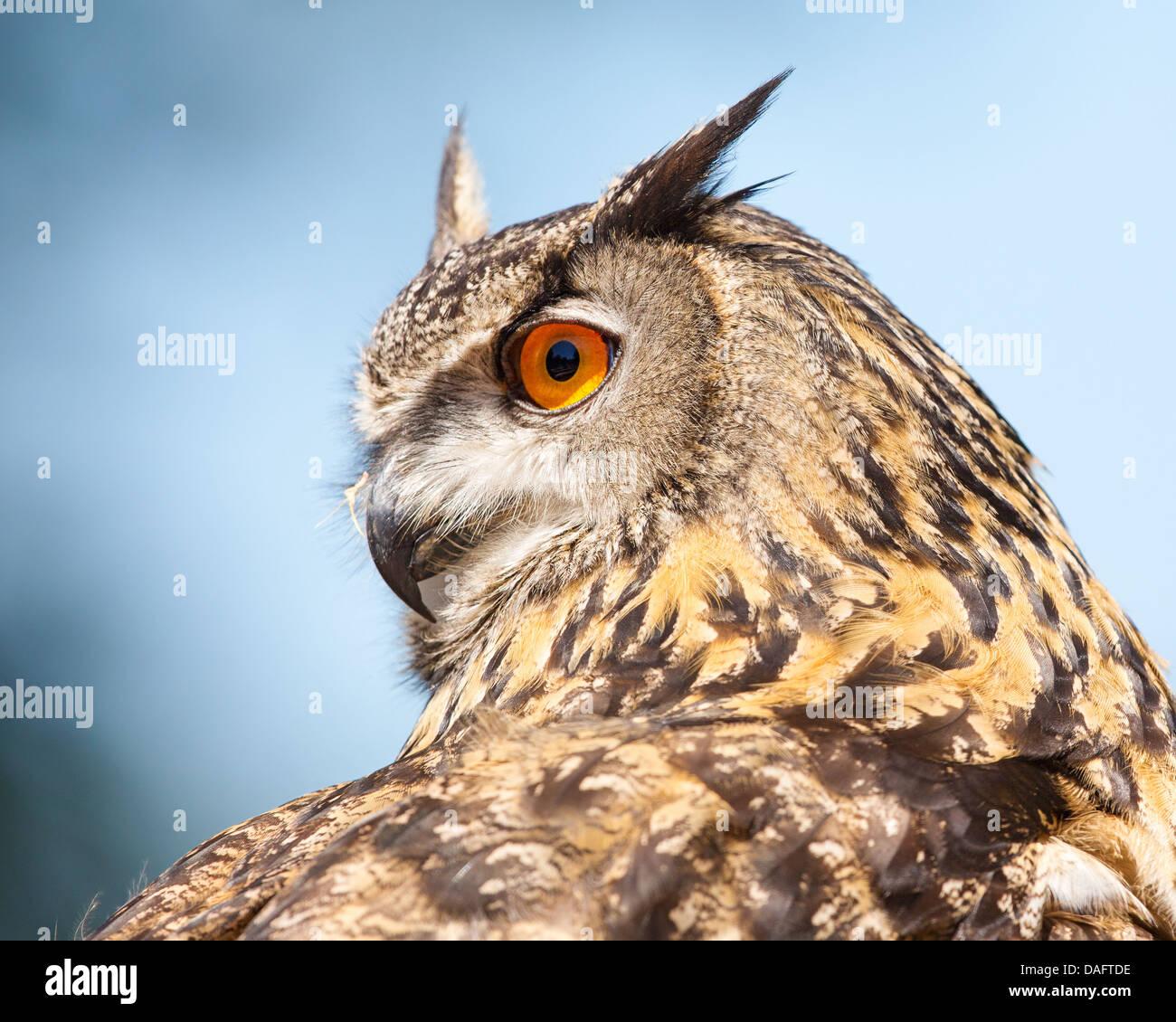 Nahaufnahme einer eurasische Adler - Eule (Bubo Bubo) mit Kopf drehte sich um 180 Grad vor einem blauen Himmel und Stockfoto