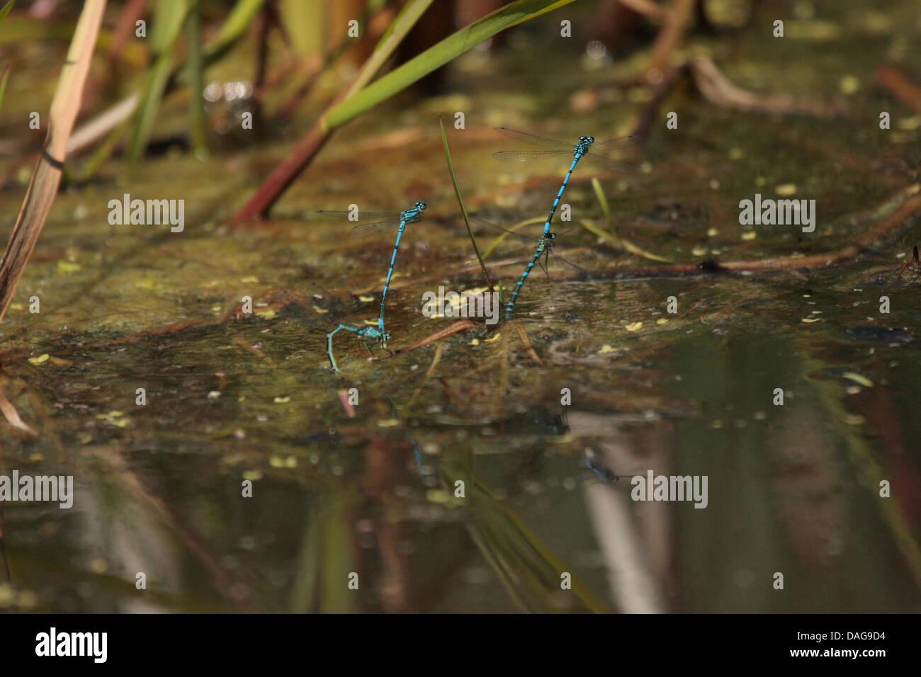 Blaue Libellen Paarung und Eiablage Stockbild