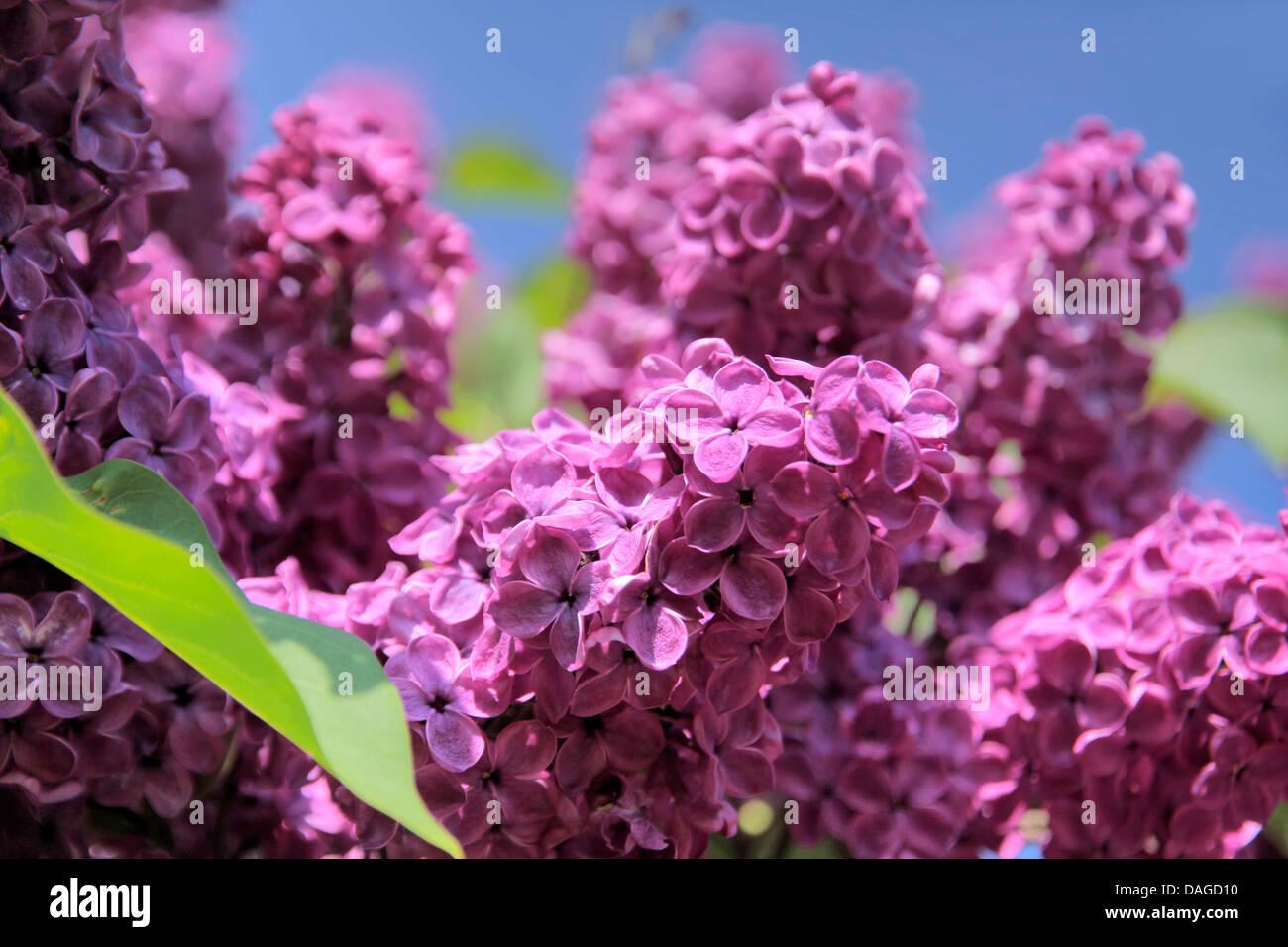 Üppige Blüte lila violett mit blauem Himmel Stockbild