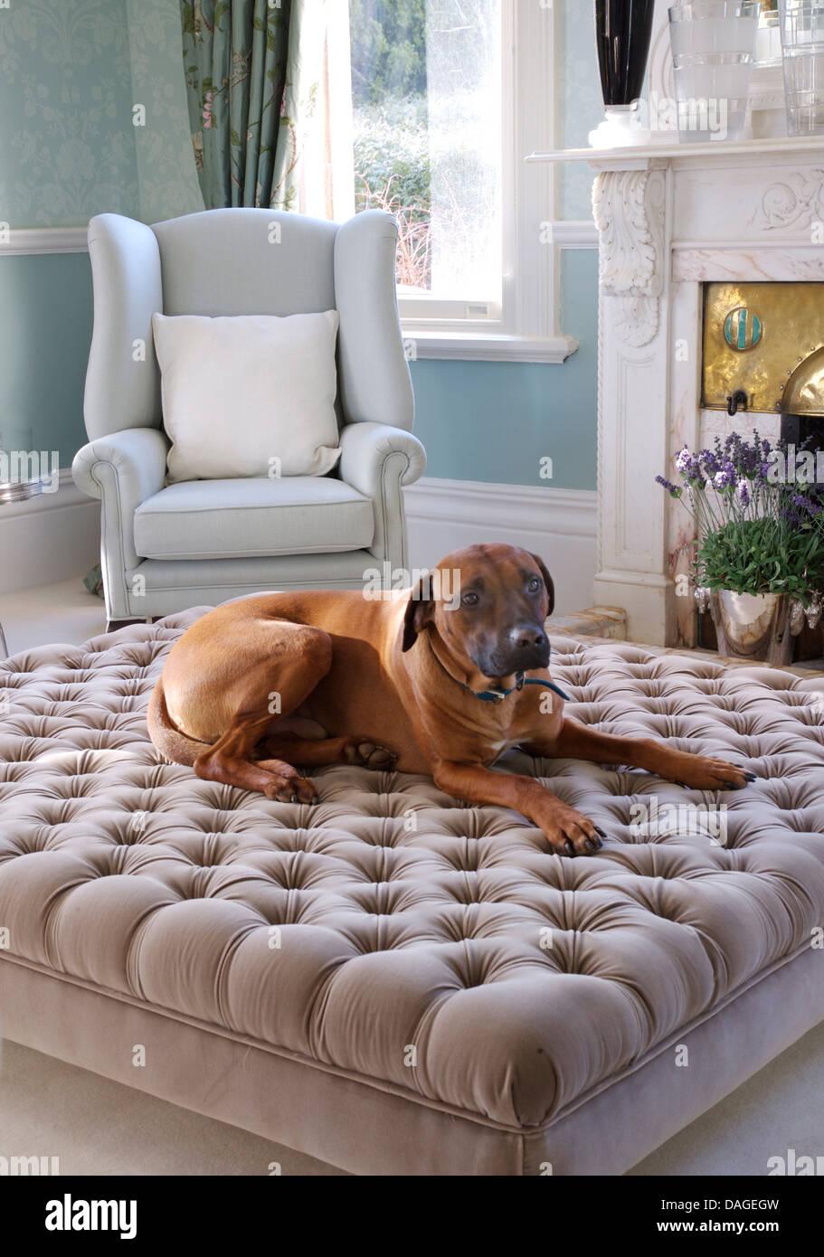 Großer Hund liegend grau samt gepolsterten Hocker aus