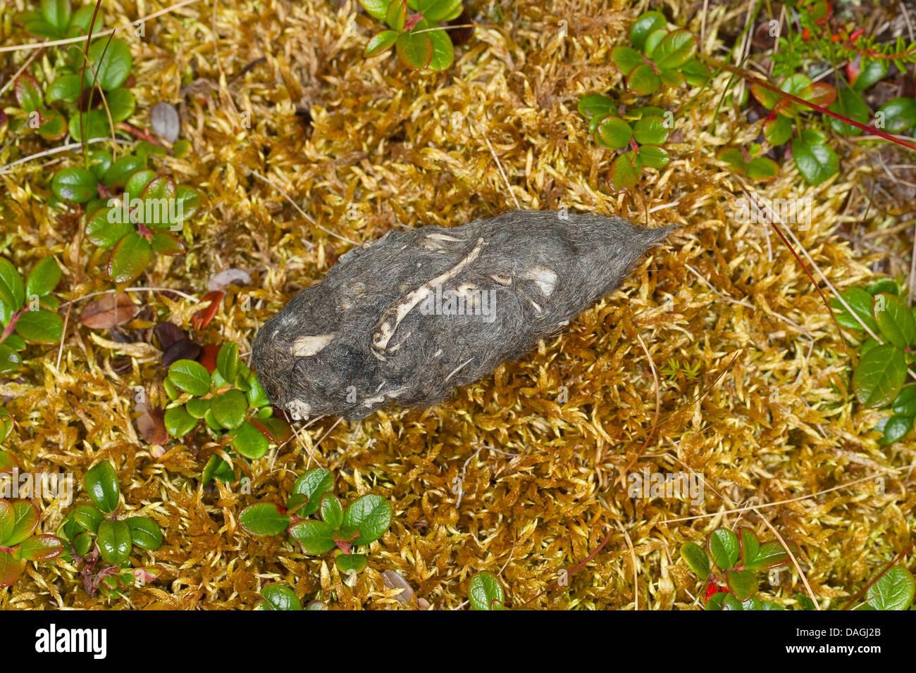 Sumpfohreule (Asio Flammeus), gegossen Stockbild