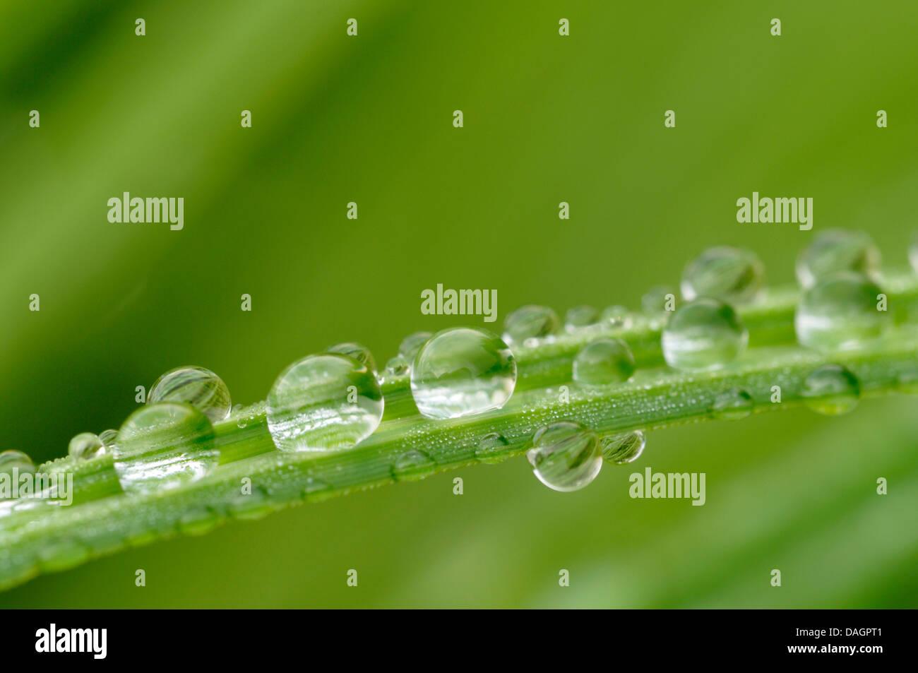 Regentropfen auf einem Blatt Segge, Deutschland Stockbild