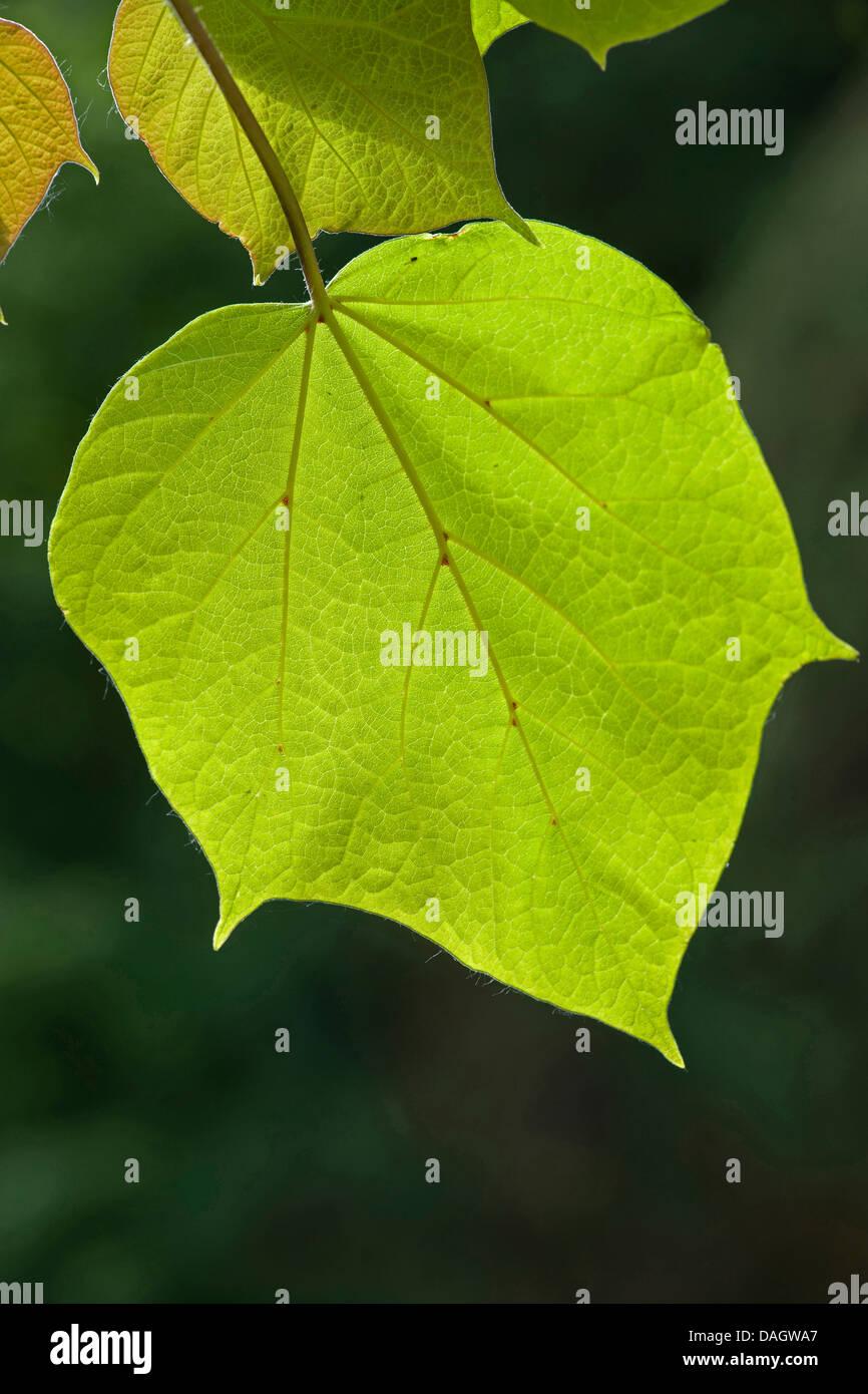 catalpa bignonioides leaf stockfotos catalpa bignonioides leaf bilder alamy. Black Bedroom Furniture Sets. Home Design Ideas
